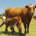 Выброс метана в атмосферу коровами