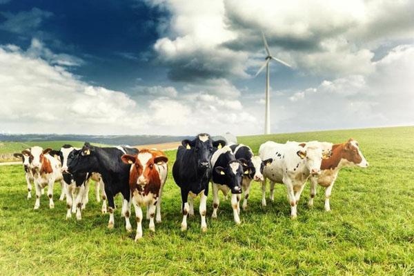 выброс метана коровами
